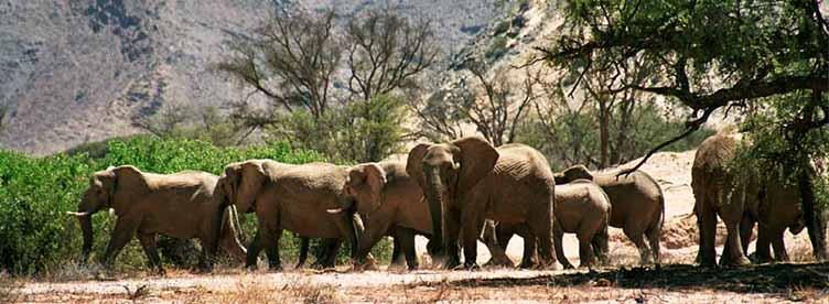 Elephants désert Kaokoland Namibie