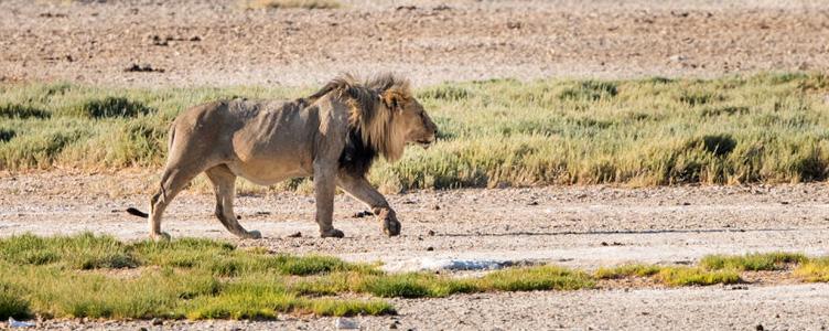 Circuit safari Namibie lion Samsara