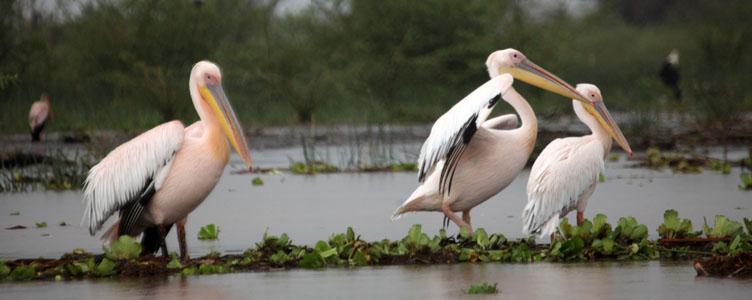 Ornithologie lac Chamo Ethiopie