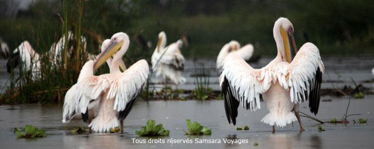 Voyage Ethiopie pélicans blancs Lac Chamo
