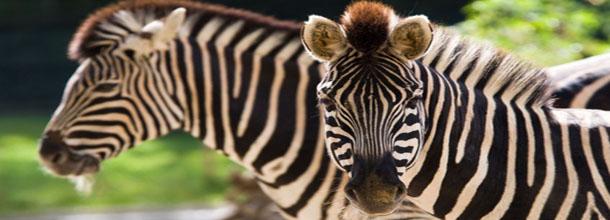 Zebres Awash Ethiopie