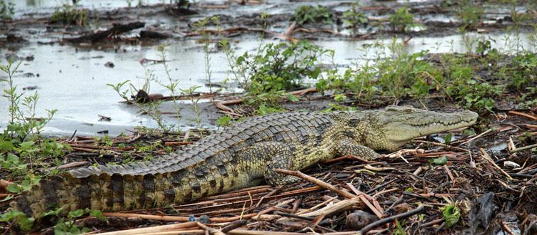 Crocodile voyage Ethiopie Samsara