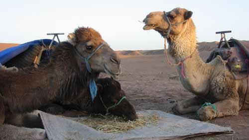 Dromadaires Maroc Samsara Voyages