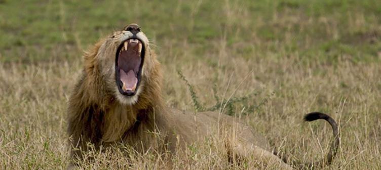 Lion dans le Serengeti en safari