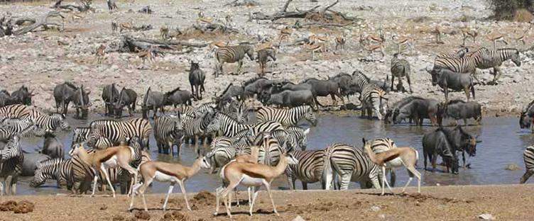 Faune au point d'eau à Etosha en Namibie