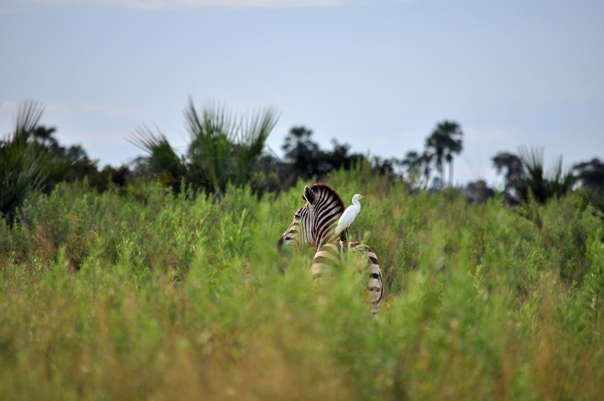 Observation d'un zèbre dans le parc de Moremi lors d'un safari au Botswana