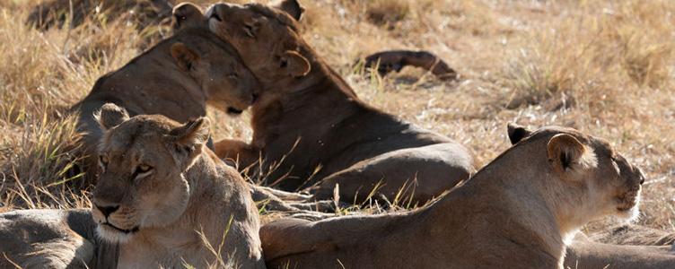 Moremi lions safari Samsara