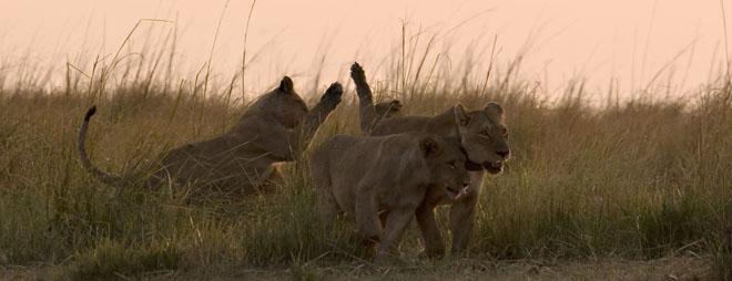 Lions en safari à Luangwa Sud avec Samsara voyages