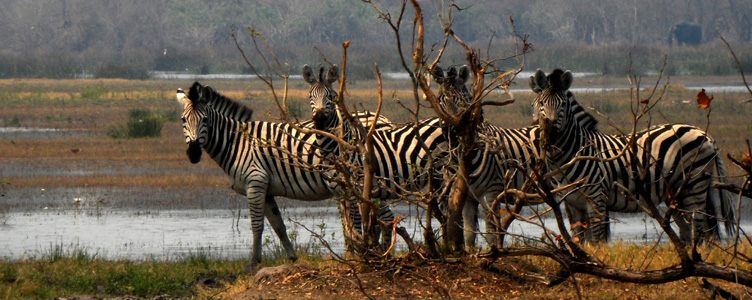 Safari Moremi Botswana Samsara