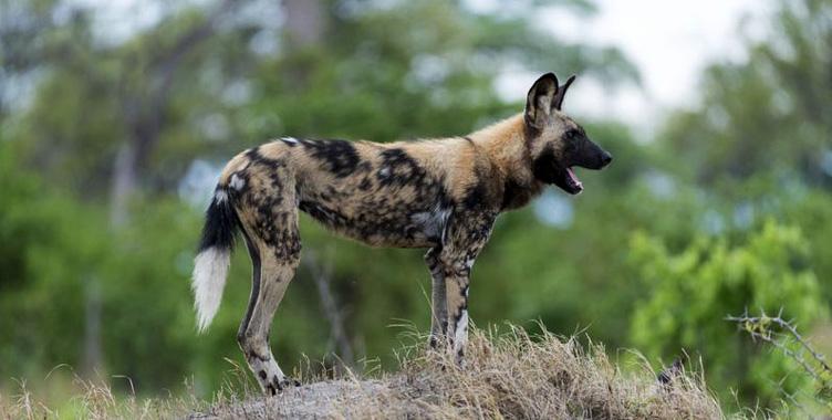 Safari Afrique hyènes