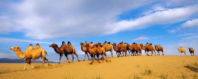 Troupeau dromadaires Gobi Mongolie Samsara Voyages