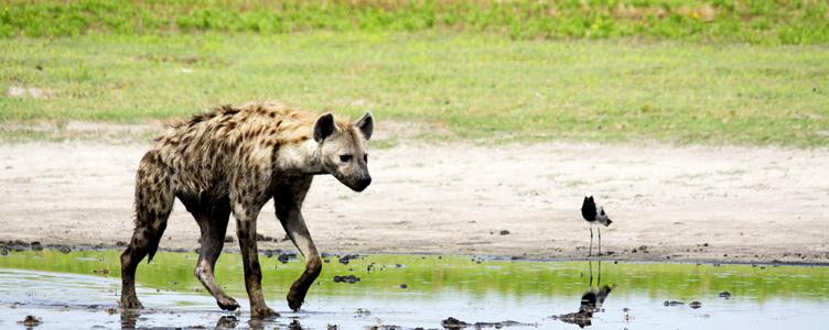 Afrique safari hyènes Samsara voyages