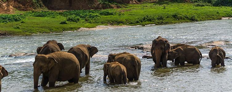 Troupeaux éléphants sauvages sircuit Sri Lanka Samsara Voyages