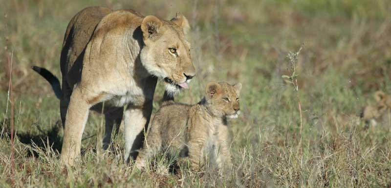Lionne lionceau voyage Botswana safari Afrique
