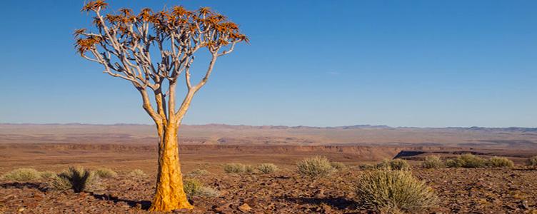 Paysage dans le désert de Namibie, ici un arbre carquois