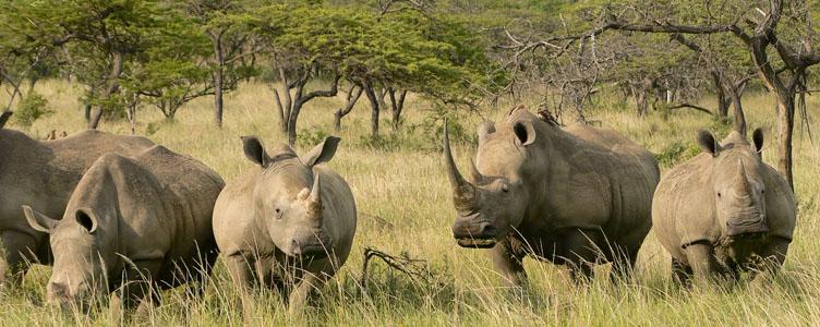 Rhinoceros sauvages safari petit groupe