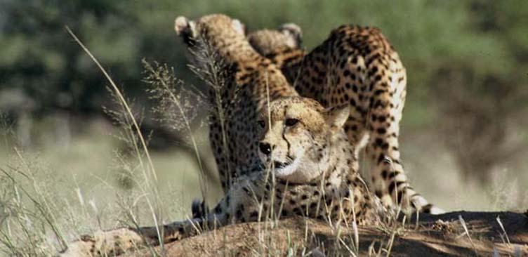 Safari Afrique du Sud guépards Samsara