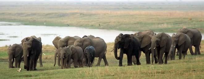 Eléphants à Chobe