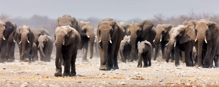 Elephants à Etosha en Namibie