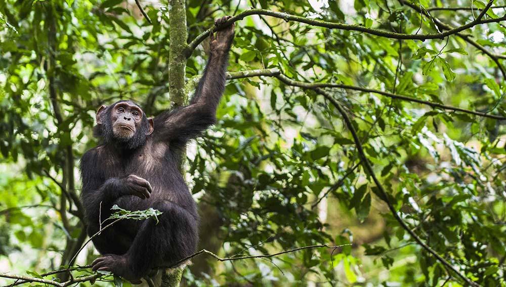 Rencontre avec les Chimpanzés de Kibale durant un voyage en Ouganda