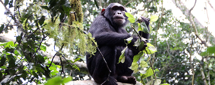 Rencontre avec les Chimpanzes de Kibale en Ouganda, Circuit Samsara