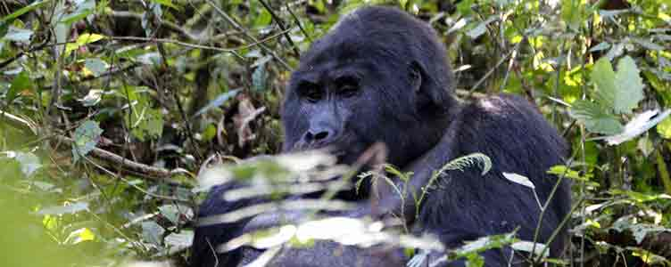 Gorilles lors d'un trek en Ouganda
