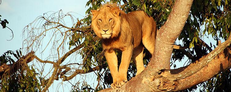 Rencontre avec un lion dans le Parc Queen Elisabeth en Ouganda