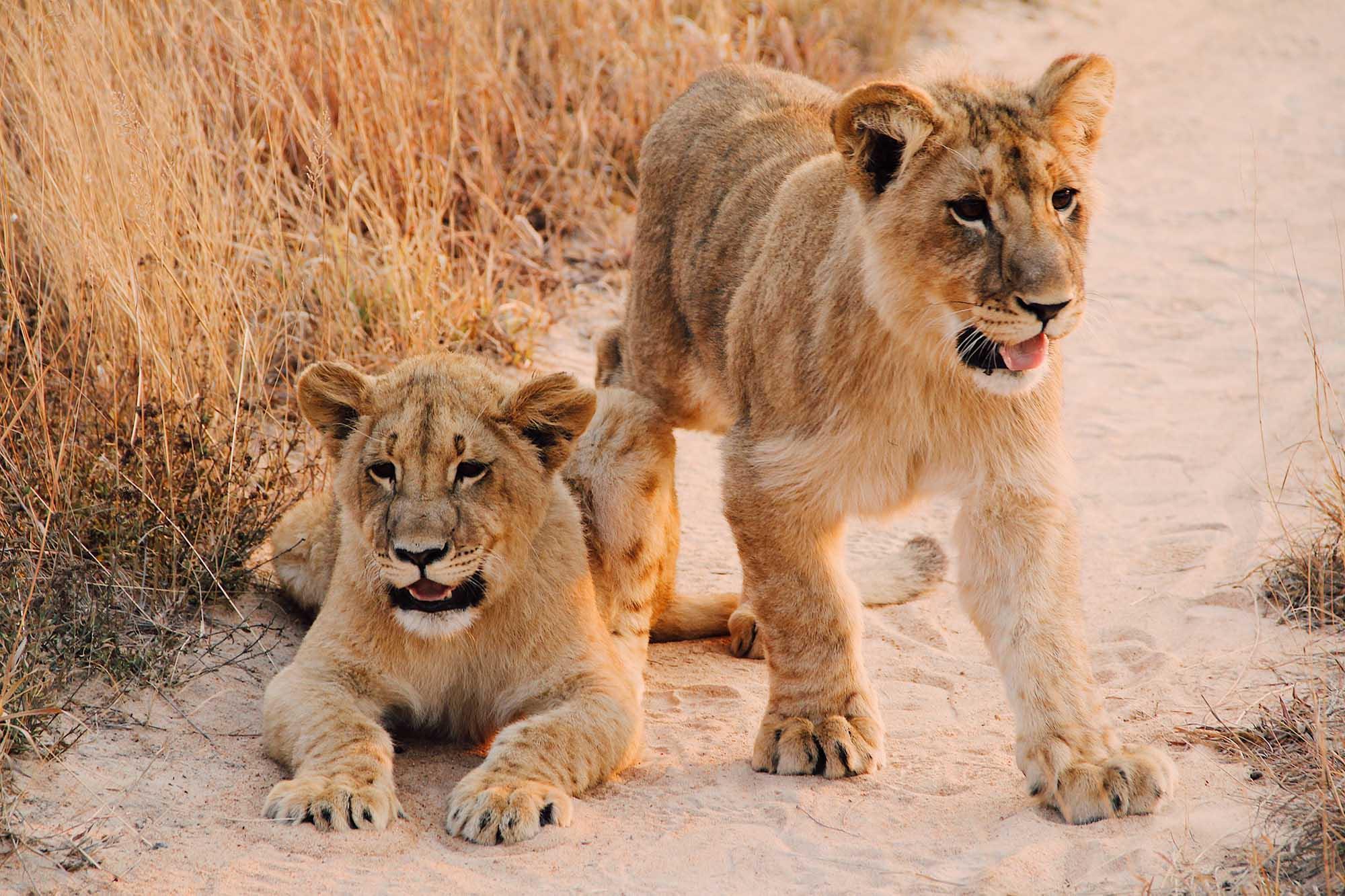 Petits lions lors d'un safari au Zimbabwe, Samsara Voyages