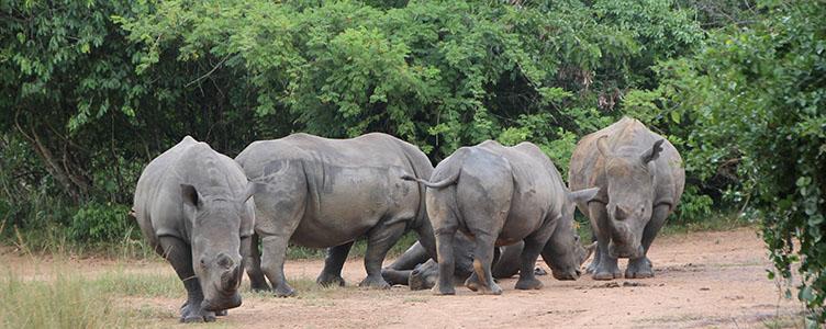 Rencontre avec des rhinocéros à Ziwa lors d'un voyage en Ouganda