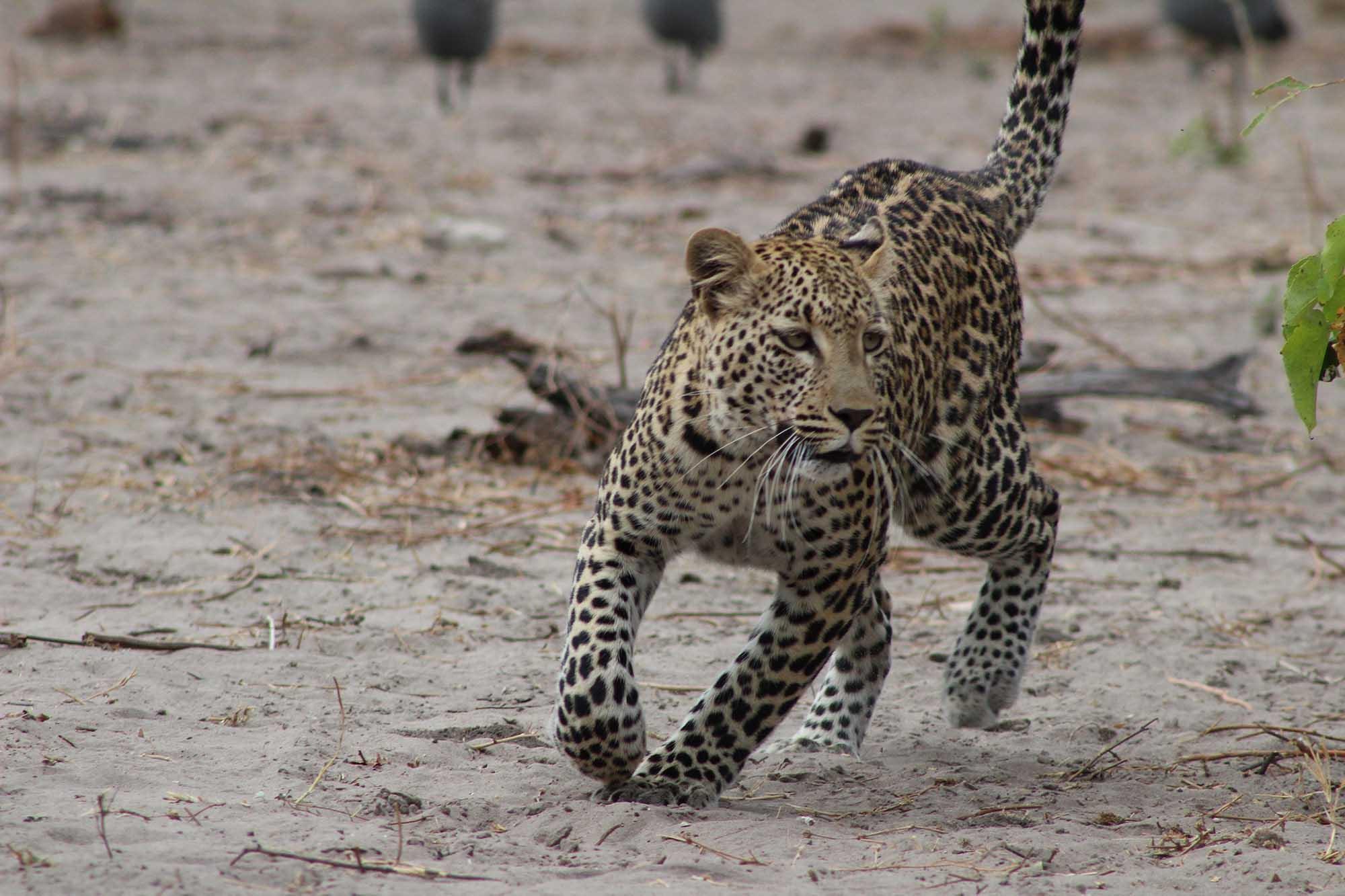 Découverte d'un leopard lors d'un safari en zambie avec Samsara